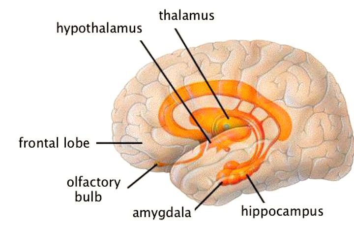 Meet the limbic system integrated listening australia limbic system ccuart Images